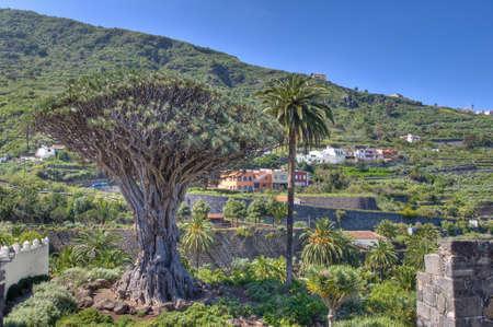Millennial Drago tree at Icod de los Vinos, Tenerife Island Stock Photo