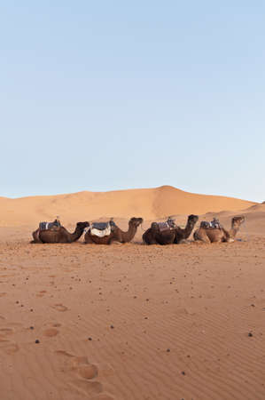 Camels resting at Erg Chebbi dunes, Morocco Stock Photo - 14364866