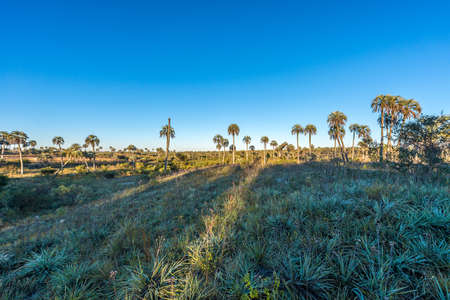 Yatay Palms (Syagrus Yatay) on El Palmar National Park, one of Argentina's national parks, located on the center-west of the province of Entre Rios, between the cities of Colon and Concordia. Stok Fotoğraf - 24879306