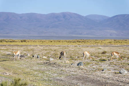 vicuna: Vicuna in Salinas Grandes salt flats in Jujuy province, northern Argentina.