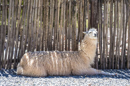Llama in Purmamarca, near Cerro de los Siete Colores (The Hill of Seven Colors), in the colourful valley of Quebrada de Humahuaca in Jujuy Province, northern Argentina. photo