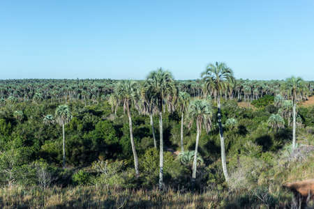 entre: Yatay Palms (Syagrus Yatay) on El Palmar National Park, one of Argentinas national parks, located on the center-west of the province of Entre Rios, between the cities of Colon and Concordia.