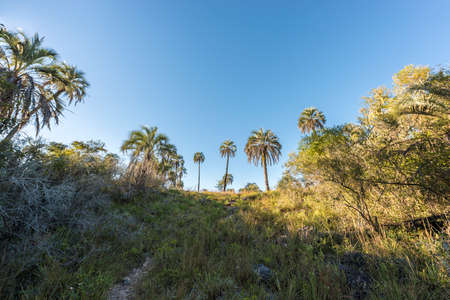national parks: Yatay Palms (Syagrus Yatay) on El Palmar National Park, one of Argentinas national parks, located on the center-west of the province of Entre Rios, between the cities of Colon and Concordia.