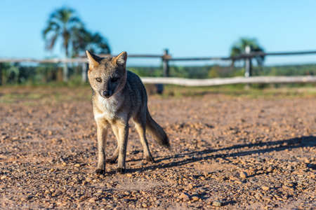 Mountain Fox on El Palmar National Park (Parque Nacional El Palmar), one of Argentinas national parks, on the center-west of the province of Entre Rios, between the cities of Colon and Concordia.