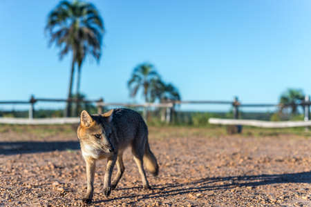 entre: Mountain Fox on El Palmar National Park (Parque Nacional El Palmar), one of Argentinas national parks, on the center-west of the province of Entre Rios, between the cities of Colon and Concordia.