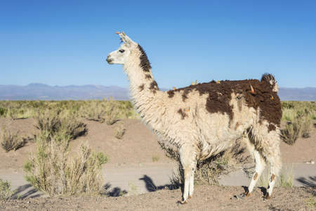 Llama in Salinas Grandes salt flats in Jujuy province, northern Argentina. photo