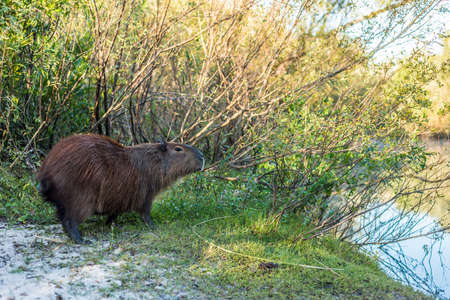 Carpincho (Capybara) on El Palmar National Park, one of Argentinas national parks, located on the center-west of the province of Entre Rios, between the cities of Colon and Concordia.