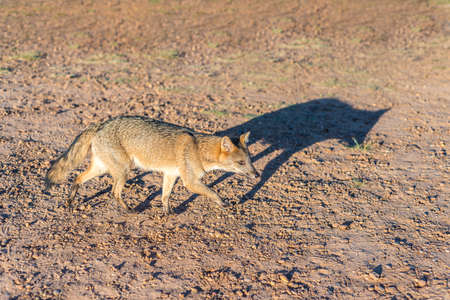 Mountain Fox on El Palmar National Park (Parque Nacional El Palmar), one of Argentina's national parks, on the center-west of the province of Entre Rios, between the cities of Colon and Concordia. Stok Fotoğraf - 33591437