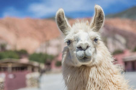 colores: Llama in Purmamarca, near Cerro de los Siete Colores (The Hill of Seven Colors), in the colourful valley of Quebrada de Humahuaca in Jujuy Province, northern Argentina. Stock Photo