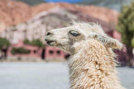 siete: Llama in Purmamarca, near Cerro de los Siete Colores (The Hill of Seven Colors), in the colourful valley of Quebrada de Humahuaca in Jujuy Province, northern Argentina. Stock Photo