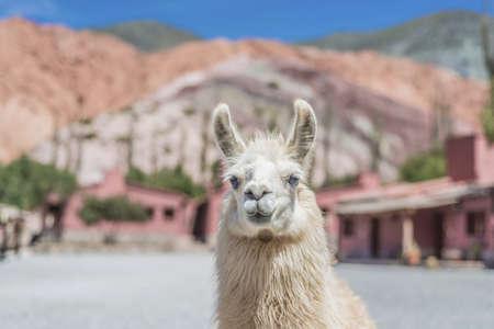 siete: Llama in Purmamarca, near Cerro de los Siete Colores (The Hill of Seven Colors), in the colourful valley of Quebrada de Humahuaca in Jujuy Province, northern Argentina. Editorial