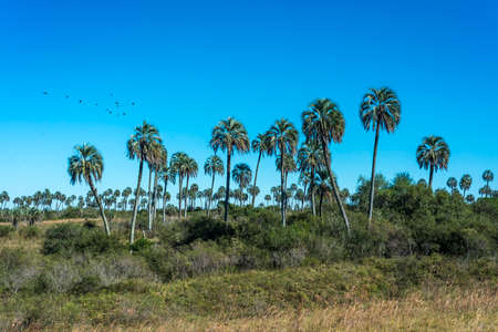 Yatay Palms (Syagrus Yatay) on El Palmar National Park, one of Argentina's national parks, located on the center-west of the province of Entre Rios, between the cities of Colon and Concordia. Stok Fotoğraf - 35243006
