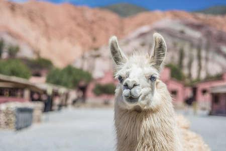 siete: Llama near Cerro de los Siete Colores (The Hill of Seven Colors).