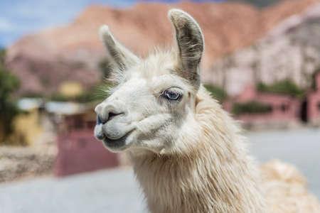 siete: Llama in Purmamarca, near Cerro de los Siete Colores (The Hill of Seven Colors), in the colourful valley of Quebrada de Humahuaca in Jujuy Province, northern Argentina. Stock Photo