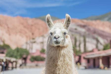 colores: Llama in Purmamarca, near Cerro de los Siete Colores (The Hill of Seven Colors), in the colourful valley of Quebrada de Humahuaca in Jujuy Province, northern Argentina. Stock Photo