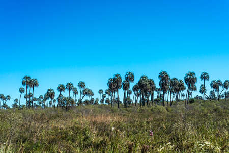 Yatay Palms (Syagrus Yatay) on El Palmar National Park, one of Argentina's national parks, located on the center-west of the province of Entre Rios, between the cities of Colon and Concordia. Stok Fotoğraf - 37036694