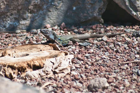 reptilia: gallotia galloti or Gallotia caesaris lizard