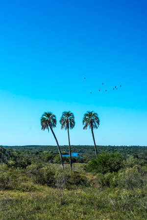 Yatay Palms (Syagrus Yatay) on El Palmar National Park, one of Argentina's national parks, located on the center-west of the province of Entre Rios, between the cities of Colon and Concordia. Stok Fotoğraf - 104645903