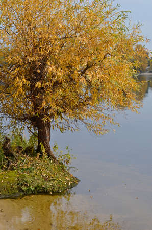 Willow tree by the riverside - photo of tree with yellow leaves in autumn with pond behind
