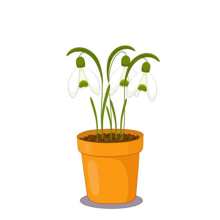 Snowdrop flowers in a clay pot on white background. Spring plants illustration.