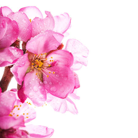 white blossom: almond blossoms. almond tree pink flowers close-up with branch isolated on white background.
