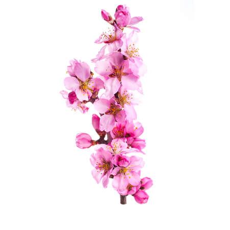 fiori di mandorlo. mandorlo fiori rosa close-up con ramo isolato su sfondo bianco.