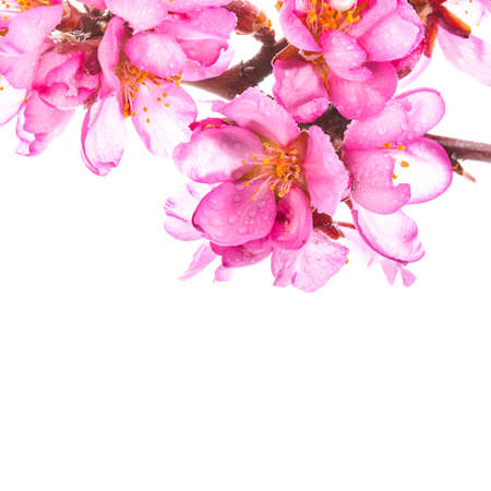 almond bud: almond blossoms. almond tree pink flowers close-up with branch isolated on white background.
