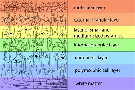 Diagram of the structure of the cerebral cortex vector