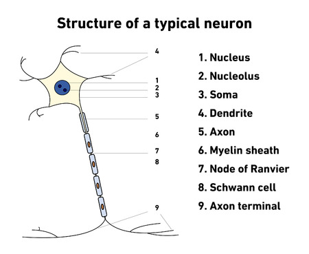 typical: Structure of a typical neuron; vector illustration