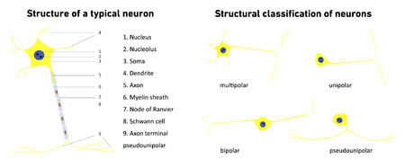Structural classification of neurons , neuronal types, neuron, structure of a typical neuron; vector illustration Illustration