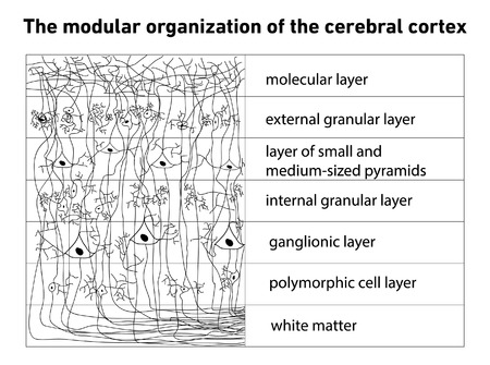 cortex: Diagram of the structure of the cerebral cortex vector