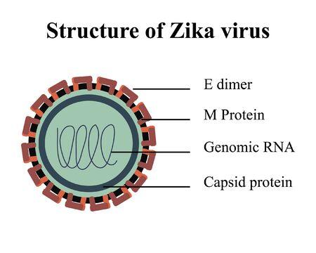 capsid: Multicolored vector illustration of structure of Zika virus Illustration