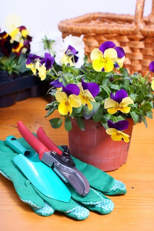 clippers, gardening gloves and two flowers, red and yellow primroses photo