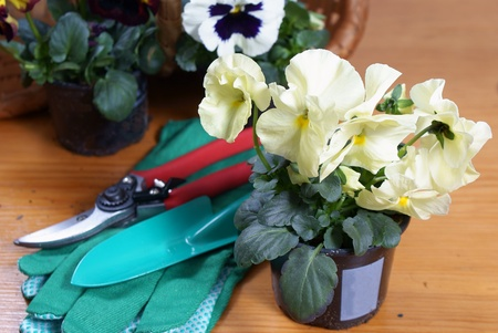 clippers, gardening gloves and white pansy photo