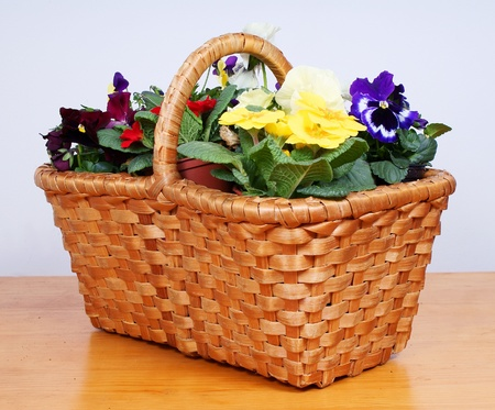 gardening - pansy and primroses in old wooden basket photo