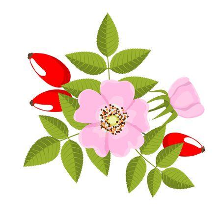 dog rose: branch of dog rose on white background- vector illustration