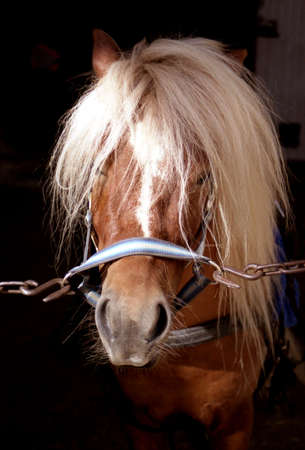 shetland pony: Cute Shetland pony in stable Stock Photo