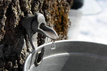Droplet of maple sap flowing from tap on a trunk of a maple tree into a pail to produce maple syrup. Banco de Imagens