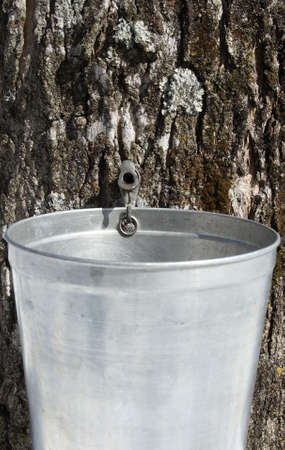 sap: Droplet of sap flowing from the maple tree into a pail to produce maple syrup. Stock Photo