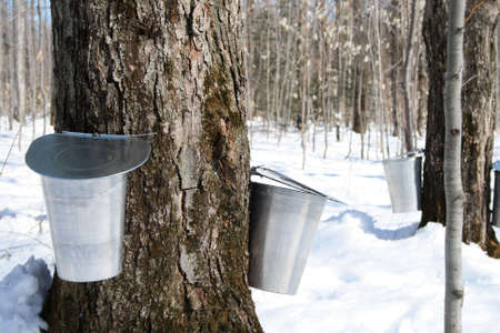 sap: Maple syrup season. Pails on trees for collecting maple sap to produce maple syrup.