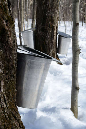 maple trees: Spring, maple syrup season. Pails on trees collect sap of maple trees to produce maple syrup.