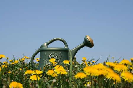 wateringcan: Green watering-can in a flowering dandelion field.