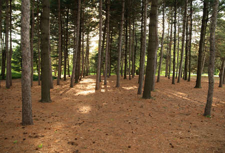 Pine forest in the sunlight during the summertime. Stock Photo - 1464034