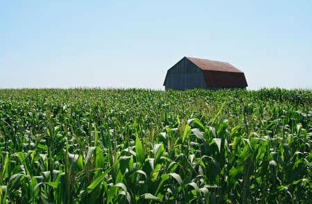 Wooden barn in green summer cornfield under the blue sky. Stock Photo - 1527407