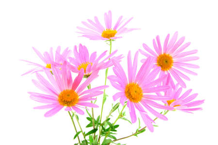 Bouquet of magenta gerbera daisies on white background.