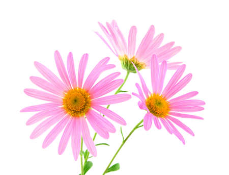 Three beautiful pink gerbera daisies on white background.