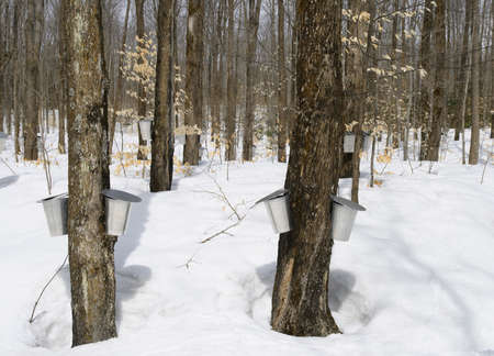 Springtime, maple syrup season. Buckets on trees for collecting maple sap. photo