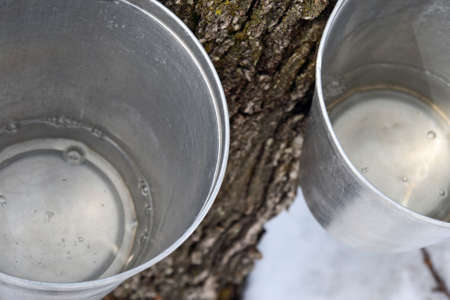 Maple syrup production. Maple sap in buckets attached to a tree. photo