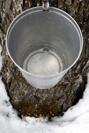 sap: Maple syrup production. Bucket on a tree filled with maple sap.