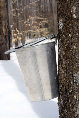 Droplet of maple sap ready to fall into a pail. Maple syrup season. Stock Photo
